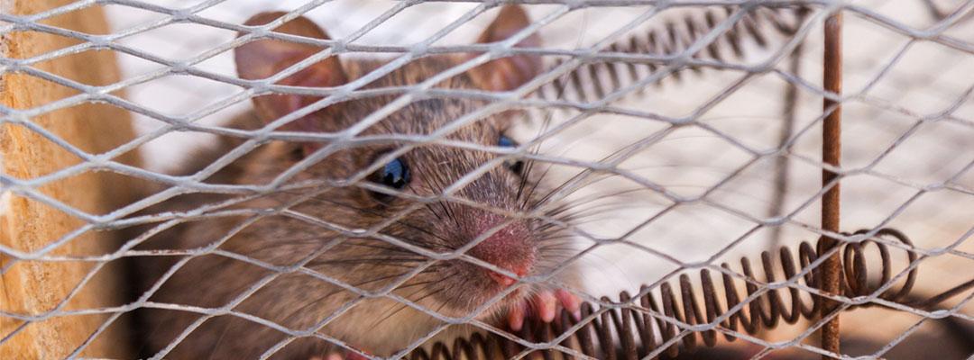 carrera-de-la-rata