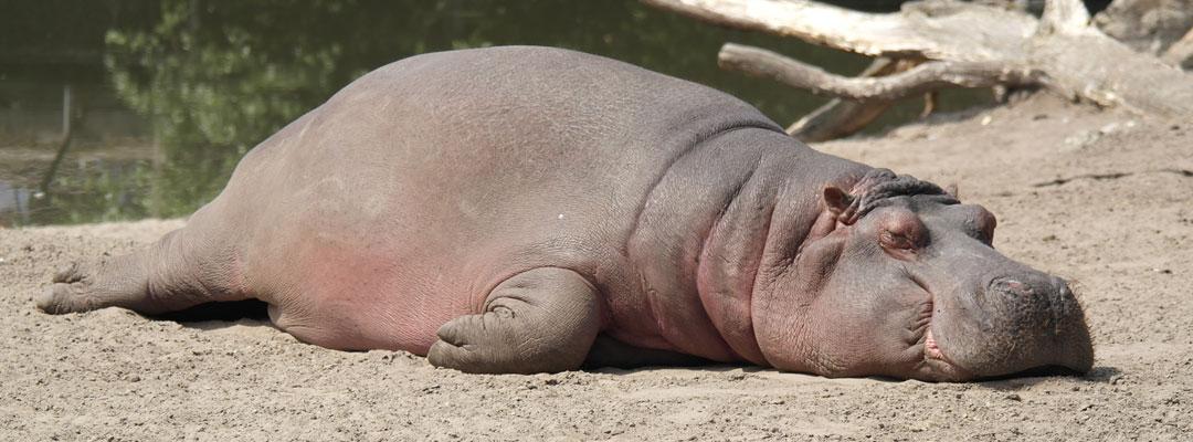 tareas-hipopotamo